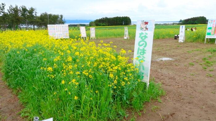 CLANNAD 聖地 青森 菜の花畑